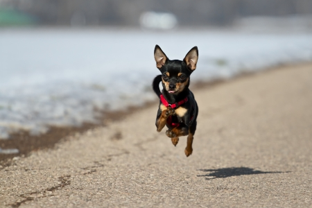 A Small Black Miniature Pinscher flying over the road