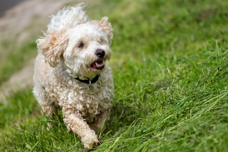 poodle mix: A wet Breed Dog Havanese - Poodle mix, running in a green field a high slope