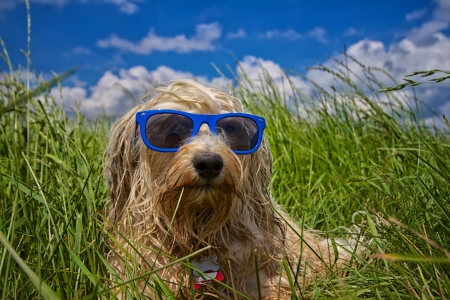 A wet dog is completely relaxed with a blue sunglasses in a meadow in the background a beautiful blue sky with a few clouds  photo
