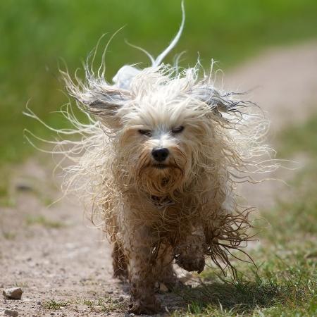 Un perro mojado sucia corre con la piel volando hacia la cámara en el fondo de un prado verde.