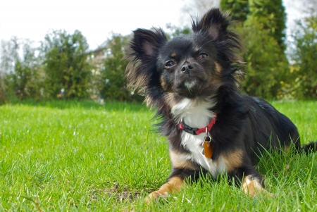 long haired chihuahua: A small black, long haired chihuahua sitting in the meadow  Stock Photo