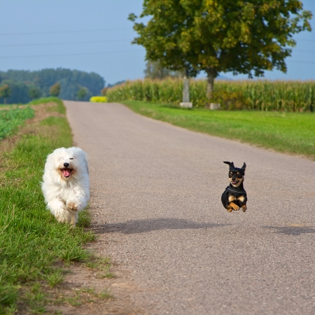 Two small dogs in the race, in the background of the road and fields