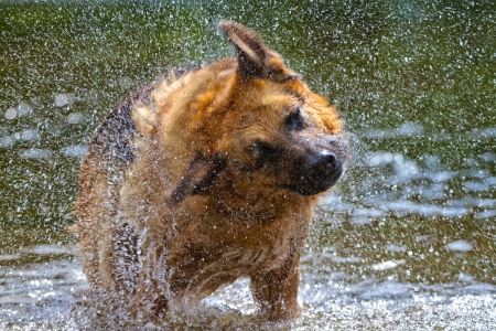 A wet German Shepherd dog shakes his fur dry, standing in a river
