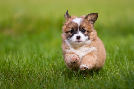A small 7 weeks old mixed breed puppy runs to full steam on the photographer, the whole in a green meadow