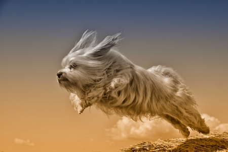 color key: A long-haired dog flying through the air, the breed of dog is a Havanese The image is an Art Color Key