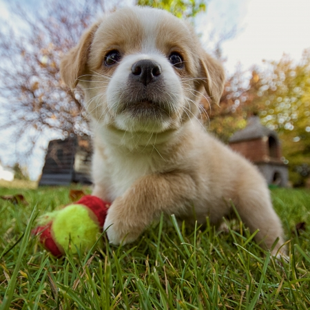 A small puppy in the grass with his ball, taken with an extreme wide angle