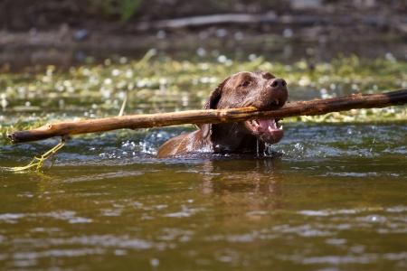 zeal: Labrador retriever dog fetches a pretty big stick of a river  Stock Photo
