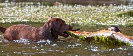 zeal: A Labrador retriever tried to bring ashore a very large piece of wood  Stock Photo
