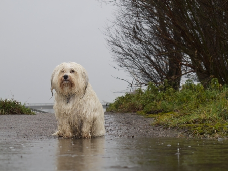 A dog is wet and sad in front of a puddle in the rain