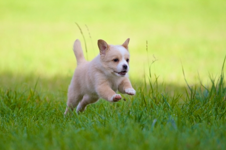 A Little 7 weeks old puppy jumps with all the joy of life through a green meadow Stock Photo