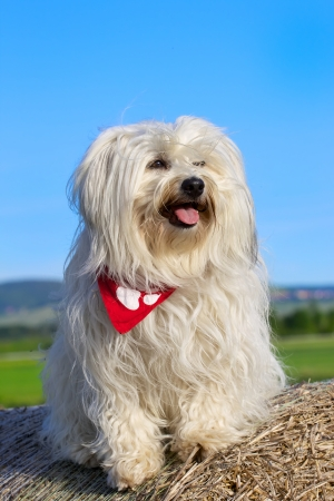 happier: A beautiful and happier Havanese sitting on a bale of straw with red neckerchief upcoming posts and lets the sun shine on the coat
