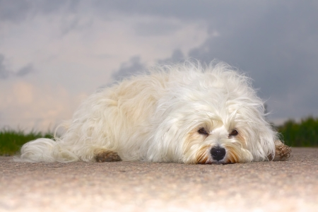 havanais: A small dog is wuscheliger extremely bored on the road and waits for an action