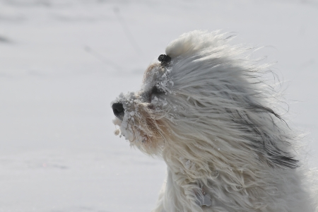 blustery: A dog keeps his face is covered with snow clumps in the cold blustery wind