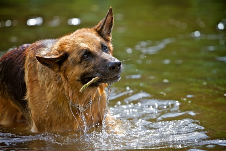 retrieving: A German Shepherd in retrieving a small caudicle from a body of water