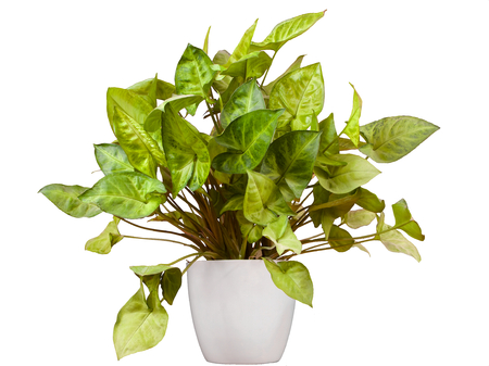 Purpurtute - Syngonium podophyllum isolated in a white pot