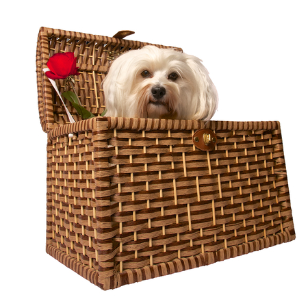 long legged: A small dog sits in a basket next to him in the basket is a red rose