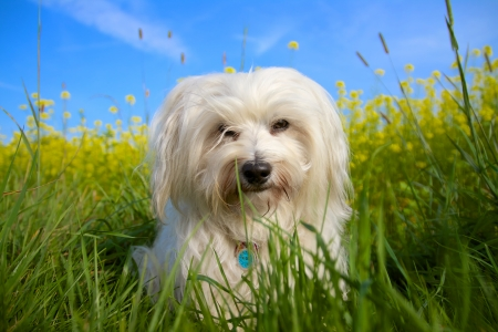 long legged: A Little Long haired Havanese sitting in a spring meadow and looking pensive  Stock Photo