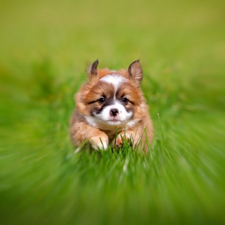 Puppy runs over to a green meadow on the photographer, the image was fitted with a zoom effect  photo