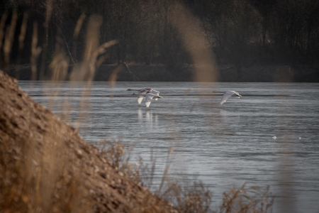 trees photography: Three swans flying in formation flying over a lake in the foreground a hill and in the background the other shore