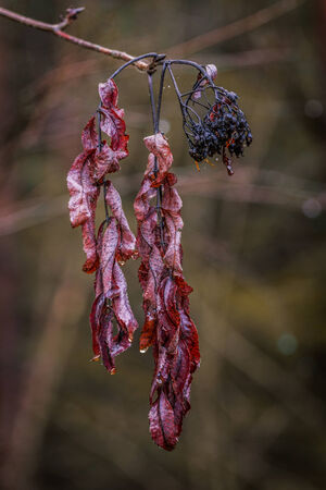 transience: Cold dead leaves plus a few rotten fruit  The leaves are moist and slightly red