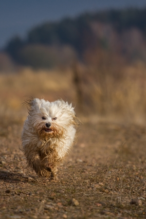 very dirty: A Little Havanese is everything, but he does not care in the least because he is very dirty  Dog running towards the photographer