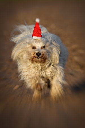 A dog with a little red Christmas hat runs quite quickly toward the photographer, the image was fitted with a zoom effect  photo