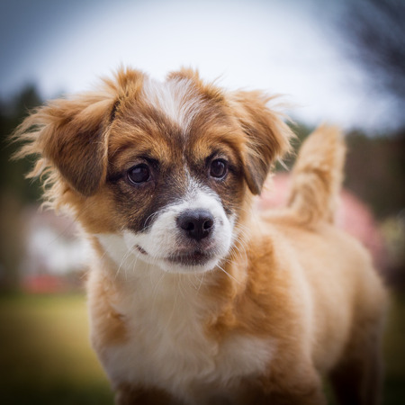 A Little Brown white mixed breed puppy Full Frame the picture