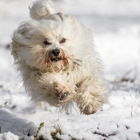 quadruped: A dog flies with a lot of fun over the white snow.