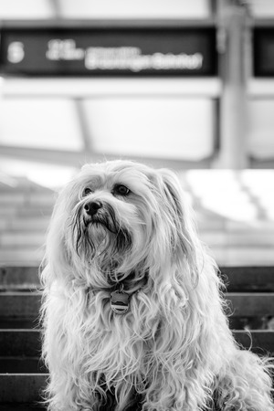 fairly: Little Havanese sitting on the stairs of a station  The image is in B   W converted with fairly sharp contrasts