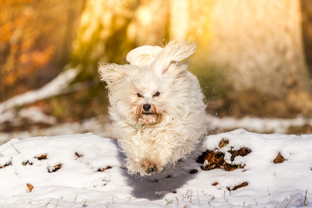 quadruped: A Little long-haired Havanese jumps in snow over a natural obstacle of time