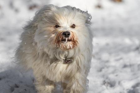 havanais: A Little long-haired dog runs quickly through the snow