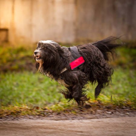 A Tibetan Terrier in the loose trot, miserable light and disgust weather  photo