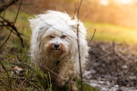 quadruped: A Little Havanese wanders through the field and can not be identified and the photographer from the eye