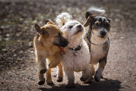 quadruped: The three dogs run playing together along a path  Stock Photo