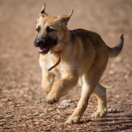 german shepherd puppy: A Young German Shepherd puppy run full of life over a brown background