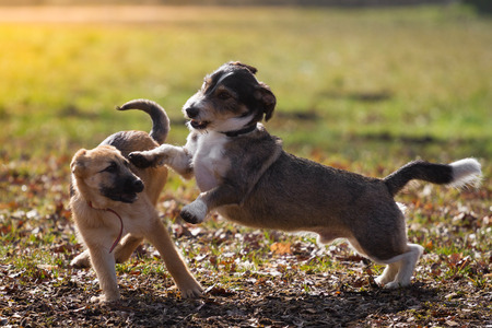An adult mongrel dog playing with a German Shepherd puppy on a meadow in the sunshine  Reklamní fotografie