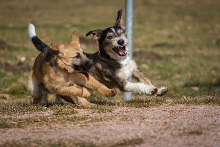 Two dogs wild game on a dog park, which is a a German Shepherd puppy the other a terrier   dachshund mix