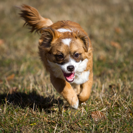 rages: A still very young Small dog rages wild in the sunshine through a meadow  Here, the wind blowing through his mid-length brown hair