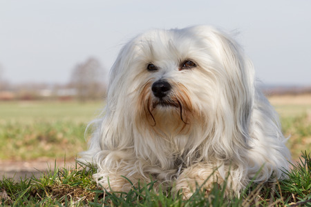 well behaved: Loose and relaxed is a white Havanese in the green grass and looking satisfied