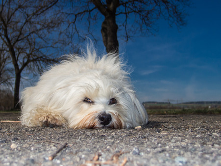 well behaved: Small white Havanese is on the road a couple of trees and a deep blue sky