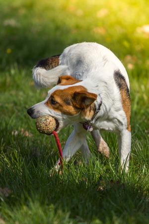 flink: Ein flinker Kerl beim Spielen mit seinem Ball werfen diese auf einer �ppigen gr�nen Wiese Lizenzfreie Bilder