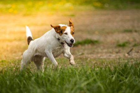over the hill: Potente y r�pidamente corre el peque�o perro por montes y valles Foto de archivo