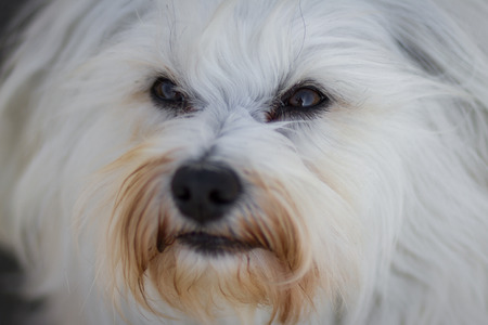trusting: View from the trusting eyes of a little white Havanese  Stock Photo