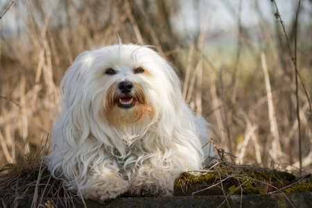 well behaved: Small white Havanese is located on a moss-grown stone in front with dried-grass