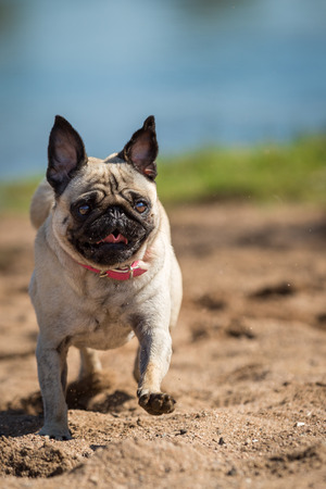 back and forth: Full steam the little pug enjoys every minute on the beach, back and forth that the sand just as flies