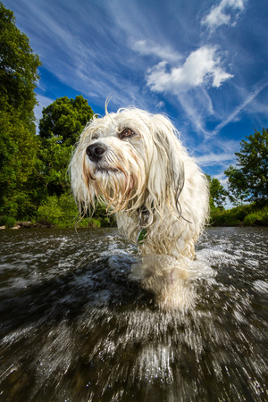 well behaved: Small white long hair Havanese is in the river and struggles against the stream, in the background a blue sky with a few clouds surrounded by trees  Low-angle shot taken from the water surface and with an extremely wide angle lens  Stock Photo