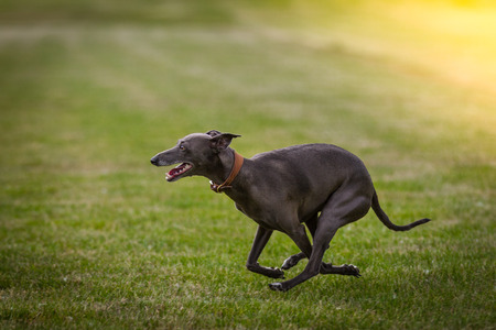 An Italian Greyhound in his element, the dog runs once cross through the picture in the background a yellow glow