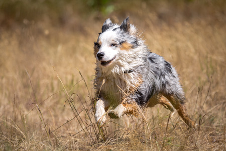 A quick Tricolor Australian Shepherd in runs at high speed through a dried grass and looks up with his blue eyes left out of the picture  photo