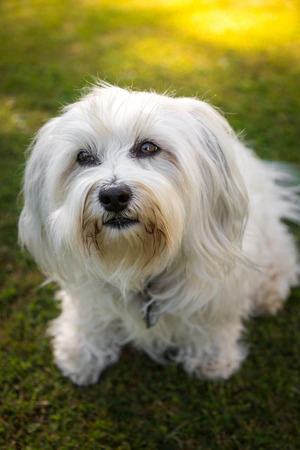 well behaved: A Little White Havanese looking from bottom to top with its fantastic beautiful eyes, who can resist such a puppy dog eyes