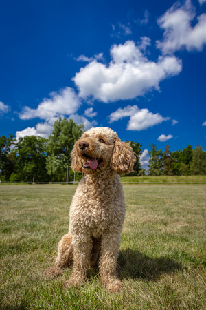 A Labradoodle sits obediently against a beautiful background photo